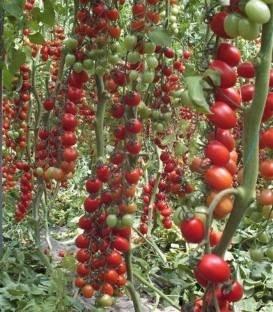 Landolino F1 - 500 sem - seminte rosii tip cherry prunisoara culoare si gust excelent Syngenta