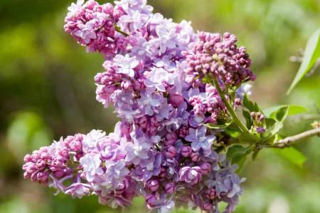 Liliac President Fallieres, arbust ornamental cu inflorescente bogate, cu flori duble, parfumate, de culoare violet, 1 arbust de 1,5-2 m inaltime, Yurta