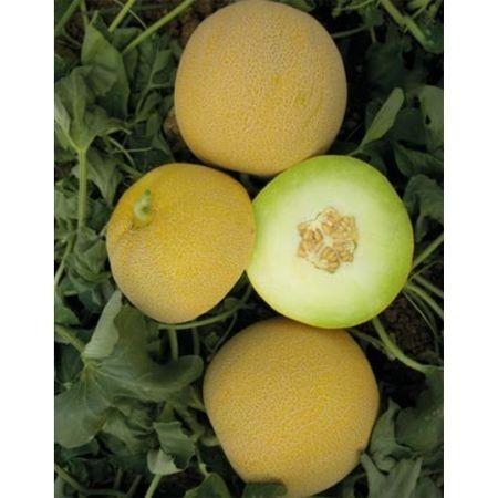 Lokma F1 - 1000 sem - Seminte de pepene galben gustos fruct rotund productivitate mare de la Yuksel