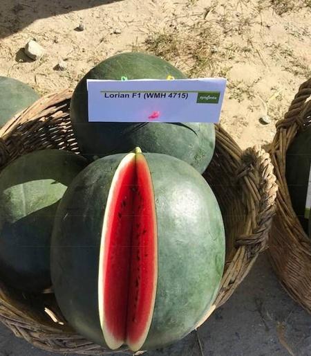 Lorian F1 WMH4715 - 1000 sem - Seminte de pepene verde rotund productie marerezistent la transport de la Syngenta