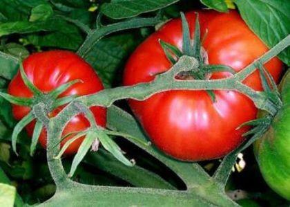 Marmande (1 gr) seminte rosii crete nedeterminate, productie ridicata, Agrosem