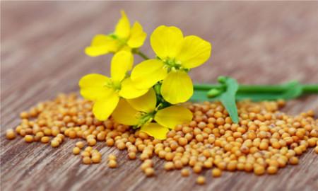 Mustar Alb - Seminte Plante Aromatice Mustar Alb de la Agrosem