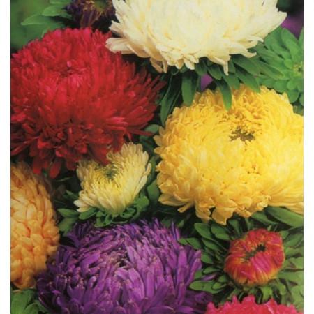 Ochiul Boului Paeonia Mix (0,4 g) seminte de ochiul boului cu flori mari, divers colorate, Agrosem