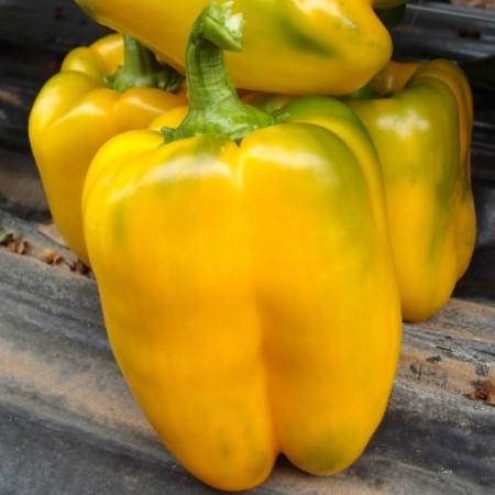 Orostar F1 - 500 sem - Seminte de ardei gras tip Blocky de culoare verde inchis spre galben la maturitate fiind recomandat pentru culturile in spatii protejate si camp deschis ce se recolteaza foarte usor de la United Genetics