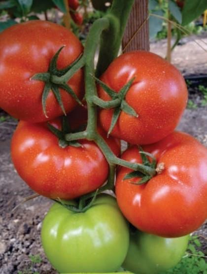 Panekra F1 (10 seminte) de rosii cu crestere nedeterminata timpurii, Syngenta