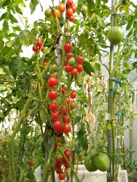 Rosii Cherry Cherry Swettie (soi mama a tomatelor Sweet Million F1) seminte de rosii nedeterminate Cherry timpuriu