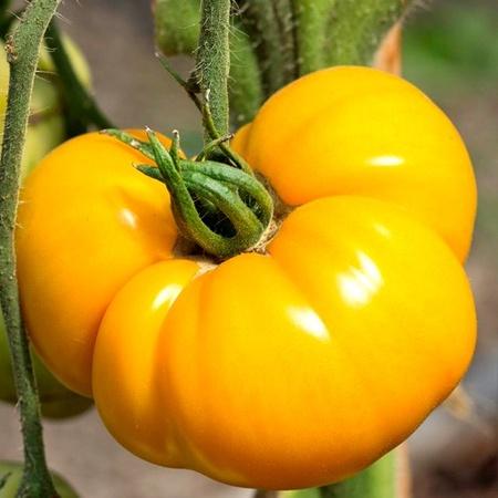 Rosii Galbene (Brandywine Yellow) - 0.2 gr - Seminte Tomate Galbene Cremoasa crete, din Ohio