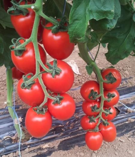 Rossano F1 - 500 sem - Seminte de rosii cu legare buna si fructe de culoare rosu intens forma oval-alungita ferme si uniforme foarte gustoase de la Esasem
