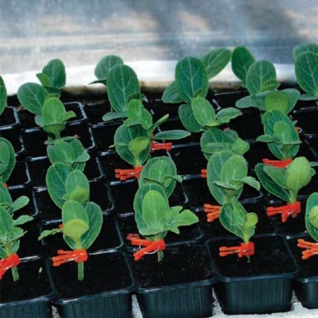 Seminte portaltoi pepene Beton F1( 500 seminte), Hektar