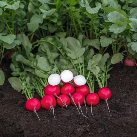 Seminte ridichi de luna Primara F1 (50 grame), timpurii si productive, Semo Cehia