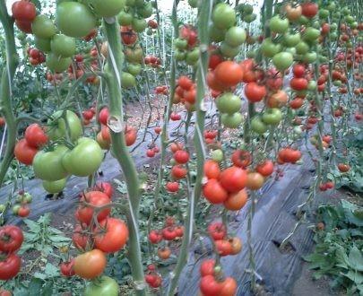 Seminte rosii Alfred F1 (500 seminte), nedeterminate, De Ruier Seeds