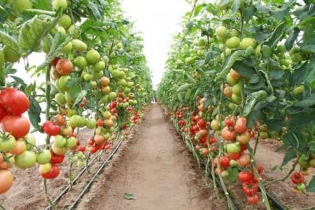 Seminte rosii Corvinus F1 (100 seminte), extratimpurii, De Ruiter Seeds
