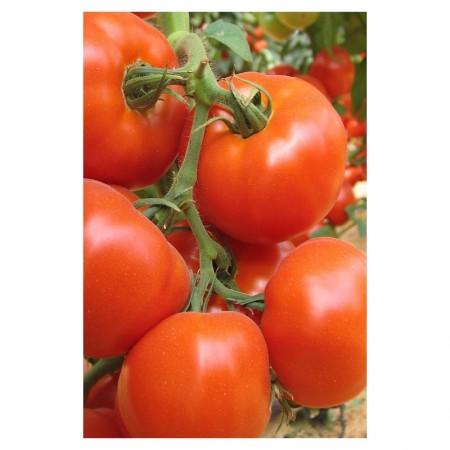 Seminte rosii Rouven F1 (500 seminte), nedeterminate, agroTIP
