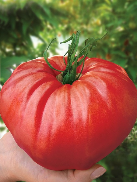 Seminte tomate de gradina gigant rosu (5 gr), cu crestere nedeterminata, Florian Bulgaria