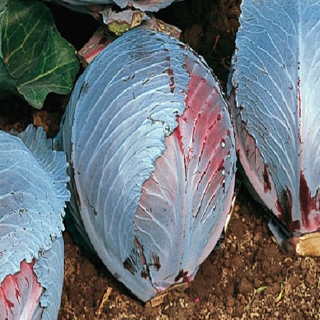 Seminte varza Zelox F1 (1000 seminte), pentru pastrare, Seminis