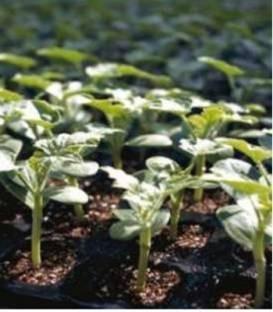 Tetsukabuto F1 - 1000 sem - Seminte de portaltoi tip Maxima Moschata utilizat pentru pepene verde si castravete asigurand o crestere foarte viguroasa a plantei de la Takii Seeds
