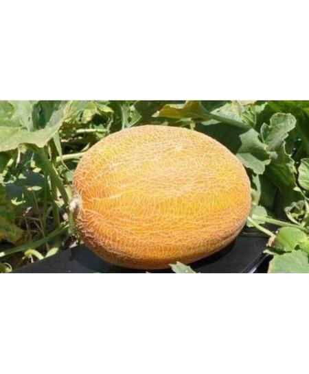 Timeos F1-500 sem- seminte pepene galben tip Ananas, pulpa crem de la Hazera
