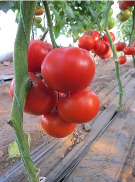 Tomate Danubiana - 500 seminte de rosii nedeterminate Nunhems