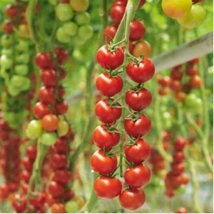 Tomate Iskra F1 - 1000 seminte de rosii Cherry nedeterminate extratimpurii Syngenta