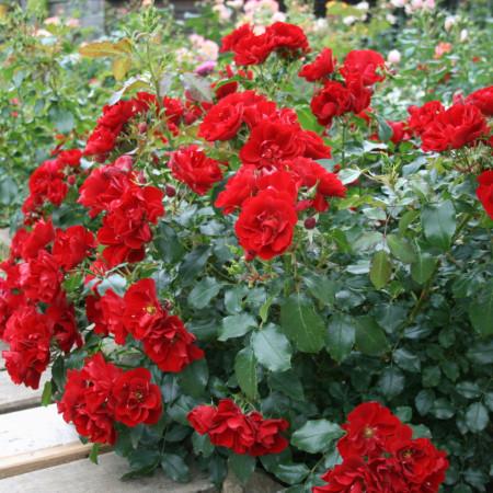 Trandafir Alpengluhen (1 butas in ghiveci 2 l) cu flori de un rosu stralucitor, ideal pentru acoperirea terenurilor, butasi de trandafiri Tantau