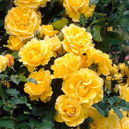 Trandafir catarator Gold, butasi de trandafiri urcatori cu inflorire repetata, cu flori galben-aurii intens parfumate, Yurta