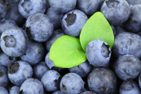 Afin Herbert, butasi de afine soiul cu cele mai aromate fructe, de dimensiuni foarte mari, Yurta