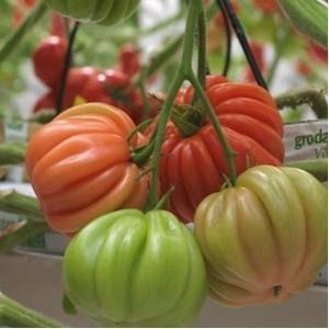 Arawak F1 (500 seminte), rosii crete crestere nedeterminata semitimpurii, Syngenta