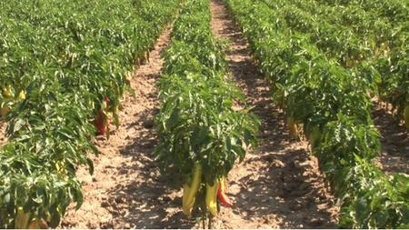 Ardei kapia BELO UVO (URECHEA ALBA) - 50 gr - Seminte Ardei Kapia Soi sarbesc Superior Seeds