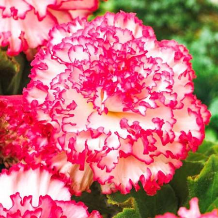 Begonie Marmorata (3 bulbi), floare mare, culoare roz-rosu, bulbi de flori