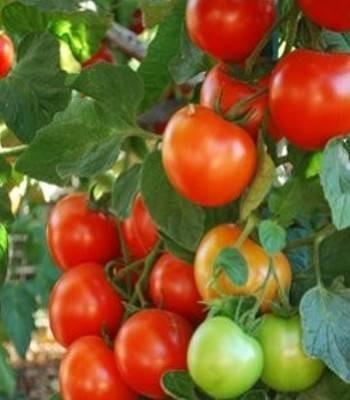 Bersola F1 - 500 sem - Seminte de rosii cu fructe uniforme cantarind in medie 160-180 de grame fiind recomandate a fi cultivate atat pe ciclul 1 cat si pe ciclul 2 cu rezultate foarte bune de fiecare data de la Enza Zaden