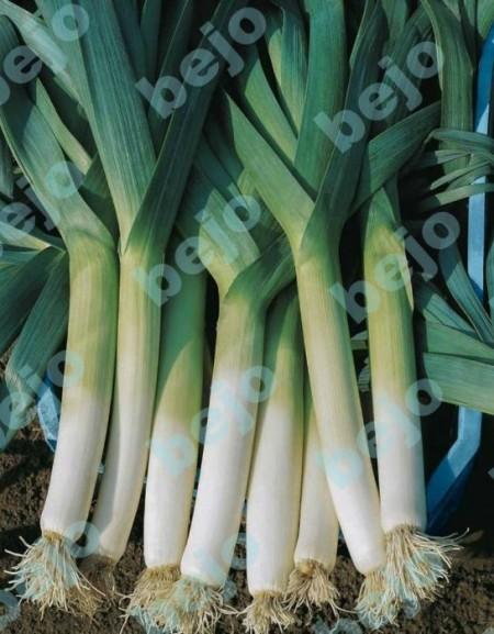 Blauwgroene Herfst-Lancelot - 10.000 sem - Seminte de praz ce formeaza tulpina lunga de culoare alba cu frunze erecte de culoare verde-albastrui de la Bejo