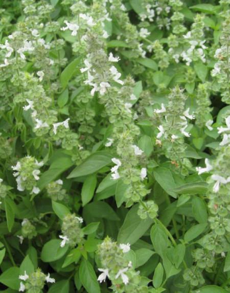 Busuioc lamaie (1 gr) seminte Plante Medicinale Busuioc cu aroma de Lamaie, Opal