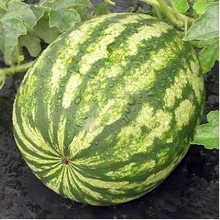 Crisby F1 - 500 sem - Seminte de pepene verde extratimpuriu tip crimson 7-9 kg foarte dulce cu textura fina de la Nunhems