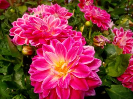 Dalie Bluesette (1 bulb), floare culoare mov, bulbi de flori