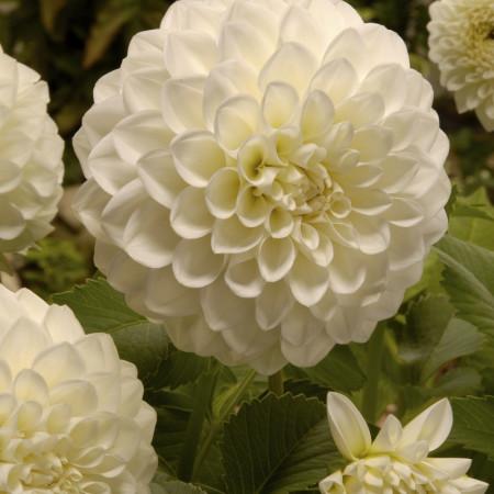 Dalie Decorative White (1 bulb), floare alba anuala, bulbi de flori