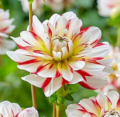 Dalie Short Track (1 bulb), floare culoare alb cu rosu, bulbi de flori