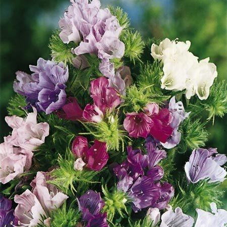 Echium - Seminte Flori Echium Planta Anuala de la Florian