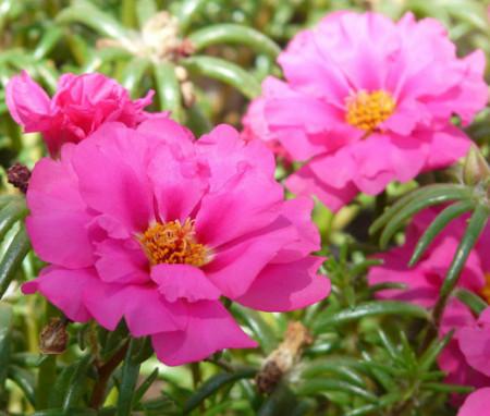 Flori de piatra rose dubla (1000 seminte) floarea de piatra Rose Grandiflora