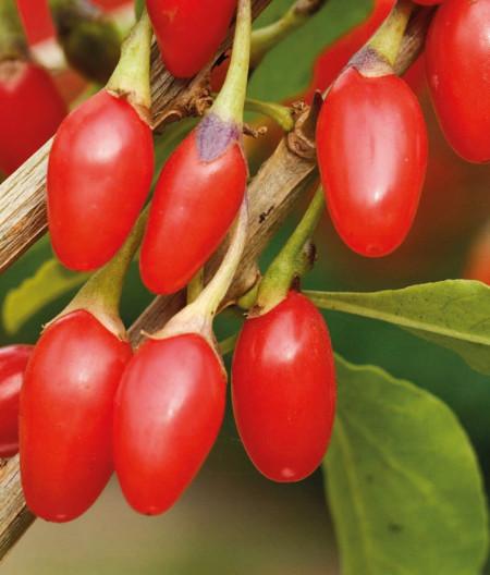 Goji New Big, rasad de Goji Berry, arbust peren rezistent la seceta, fructemari, Yurta