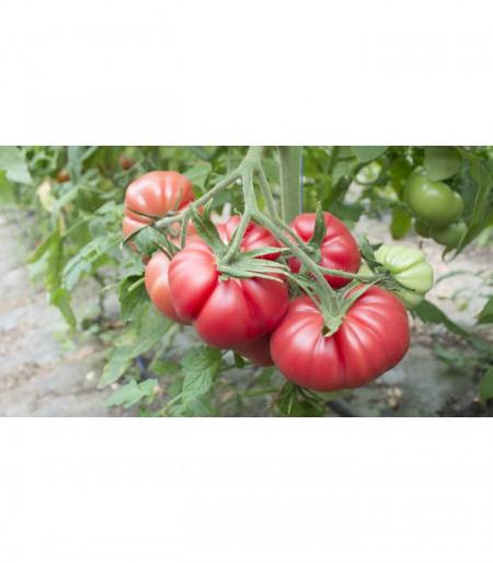 HB101153 F1 tip Monterosa (250 seminte), seminte tomate roz nedeterminate, Fito Semillas