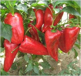 Ivaylovska Capia (150 seminte) ardei kapia, crestere nedeterminata, fructe foarte mari, IZK Bulgaria
