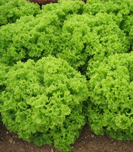 Kriska - 5 grame - Seminte de salata creata cu capatana mare voluminoasa si multe frunze ce au crestaturi facand din acest produs unul usor de valorificat de la Isi Sementi