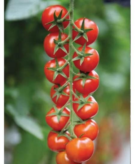 Marghol F1 - 200 sem - Seminte de rosii nedeterminate de tip cherry 14-18 fructe pe ciorchine ce prezinta o perioada lunga de pastrare si nu crapa de la Yuksel