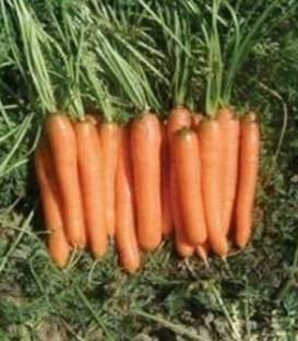 Monanta - 50 grame - Seminte de morcovi cu o perioada de vegetatie de 95-100 de zile si o dimensiune a radacinilor de 18-20 cm lungime ce se preteaza consumului in stare proaspata industrializarii si vanzarii la legatura de la Rijk Zwaan