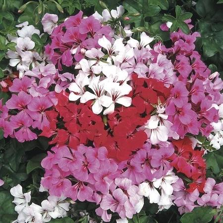 Muscata curgatoare F2 Mixed - Seminte Flori Muscata Curgatoare Planta Perena de la Florian