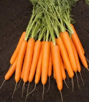 Napa F1 - 25.000 sem - Seminte de morcovi orange (calibru seminte > 2.0 mm) tip Nantes recomandat pentru zonele cu climat temperat de la Bejo