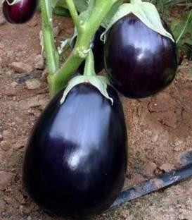 Perfection F1 - 500 sem - Seminte de vinete cu fructe globuloase ce prezinta o dezvoltare latenta a semintelor si se preteaza pentru cultivarea in camp si in spatii protejate de la United Genetics