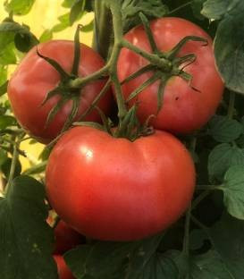 Pink Sky F1 (100 seminte) de rosii crestere nedeterminata cu fructe mari 260-280 grame ce se caracterizeaza printr-o fermitate excelenta si asigura o legare constanta si bogata de la Fito Semillas