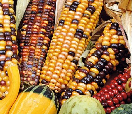 Porumb Decorativ Multicolor (2.5 gr) seminte de Porumb Multicolor Decorativ Hibrid Planta Anuala, Laktofol