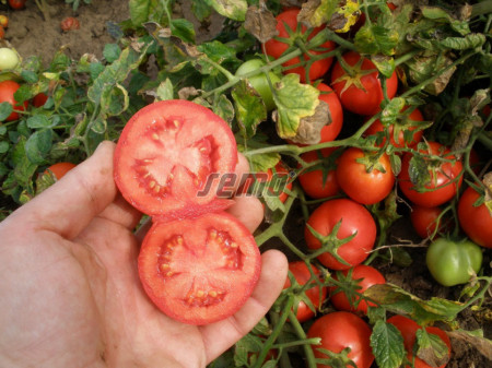 PROTON seminte tomate (10000 sem) soi tomate de camp timpurii, cu fructe rotund-ovale , uniforme si coacere concentrata, planta compacta si productiva, Semo Cehia